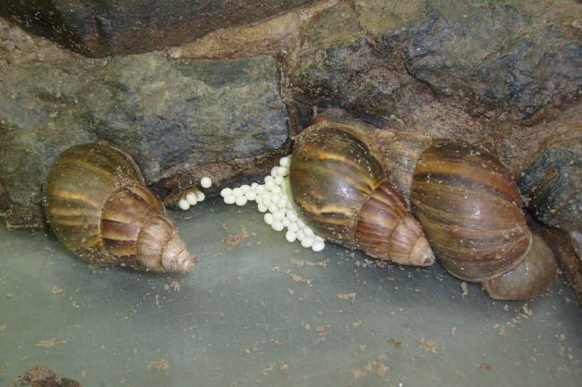 Улитка ахатина и яйца.