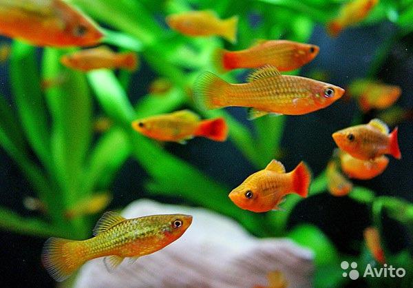 Стайка живородящих рыбок в аквариуме.
