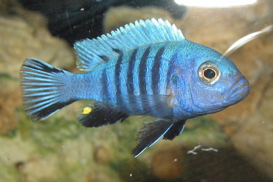 Полосатый псевдотрофеус синего цвета.
