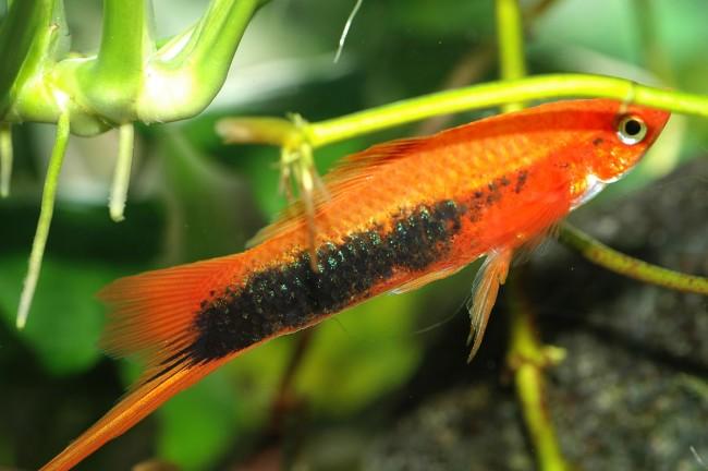 Маленькая рыбка из вида меченосцев.
