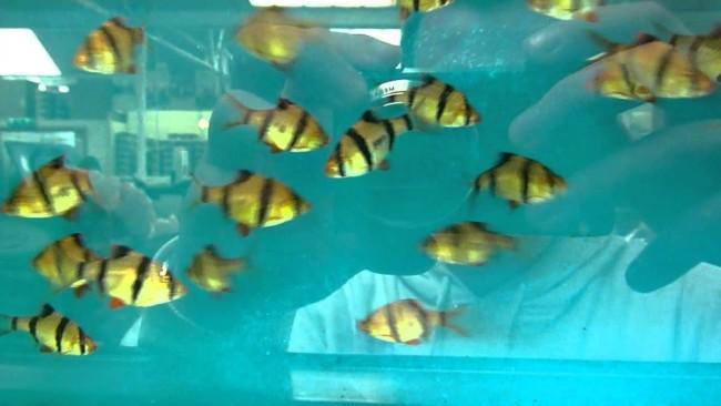 Много барбусов в голубом аквариуме.