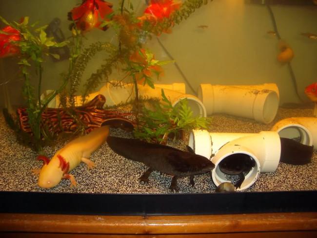 Укрытия для аксолотля в аквариуме.