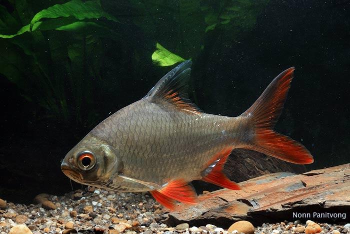 Лещевидный барбус - аристократ среди аквариумных рыбок.