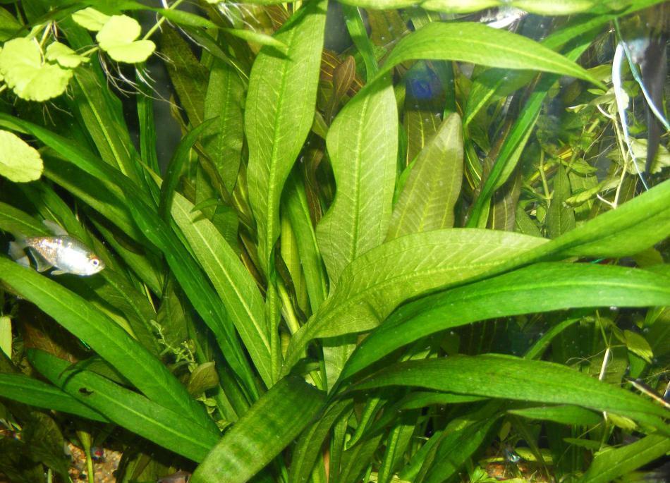 Яркая зелень амазонского эхинодоруса привлекательна для обителей аквариума.