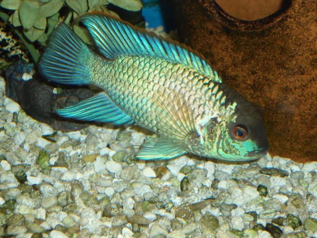 Аквариумная рыбка вида лучеперистых рыб.