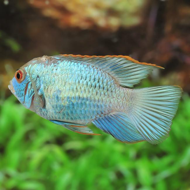 Аквариумная рыбка акара.