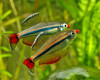 Парочка шикарных рыбок петушков.