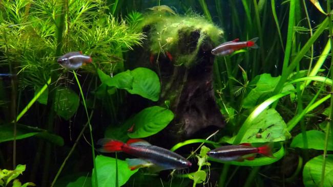 Общий аквариум с петушками.