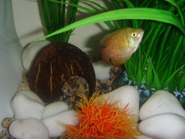 Как сделать домик в аквариум из скорлупы кокоса.