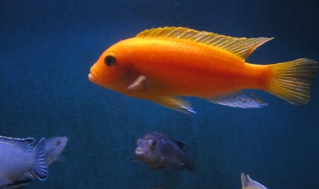 Самая популярная рыбка.