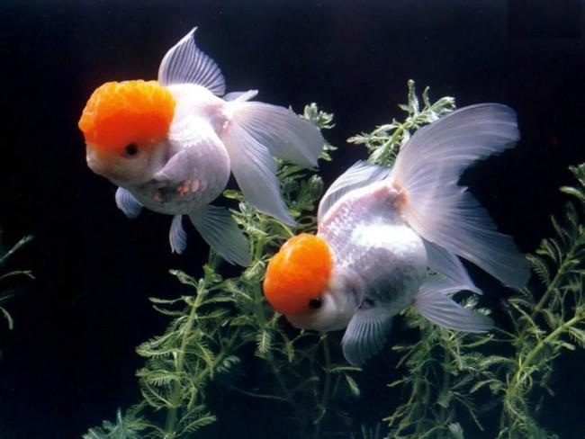 Золотая рыбка Tancho oranda.