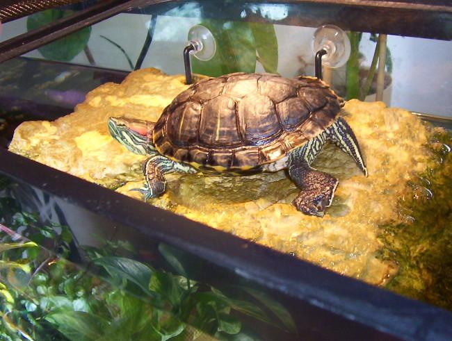 Черепаха в аквариуме.