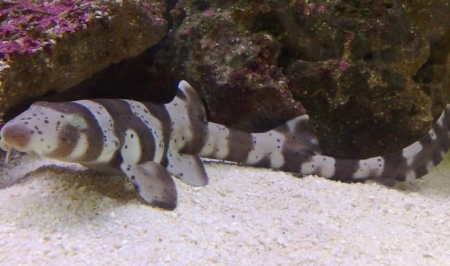 Аквариумные мини акулы.