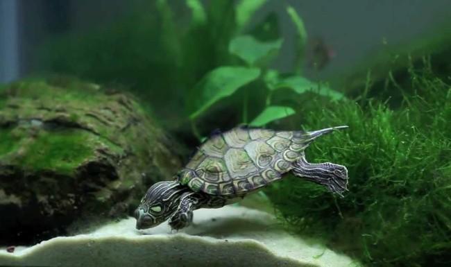Черепахи в аквариуме.