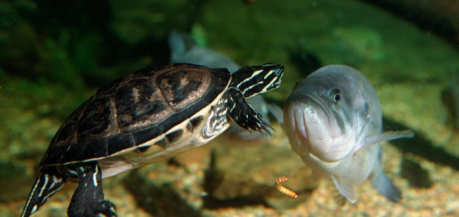 Аквариумная черепаха с рыбой.