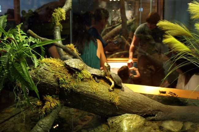 Аквариумные черепахи.