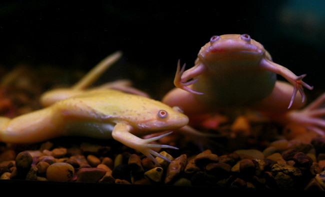 Аквариумная шпорцевая лягушка.