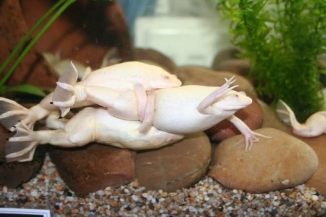 Размножение аквариумных лягушек.