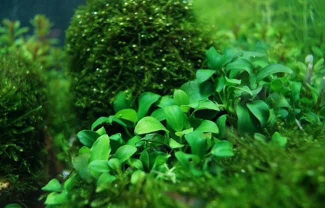 Анубиас нана с другими растениями.