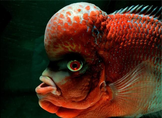 Flower horn red dragon.