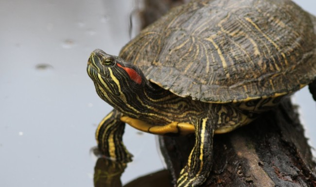 Красноухая черепаха пресноводная.