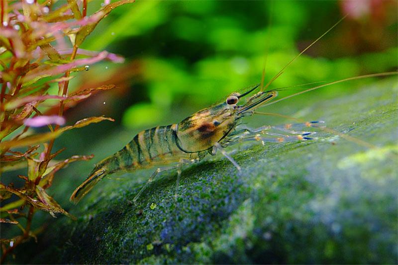 Креветка Macrobrachium.