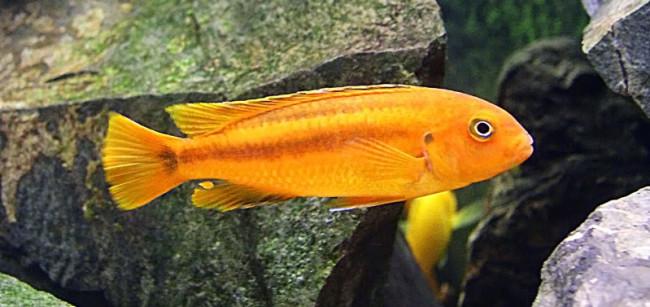 Melanochromis johanni.