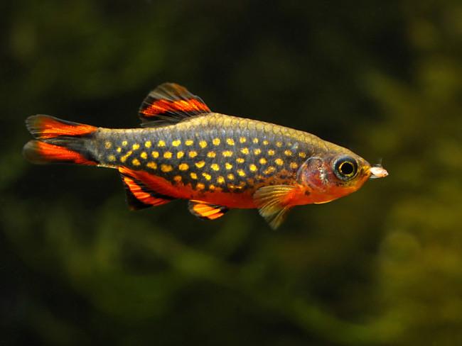 Рыбка данио.