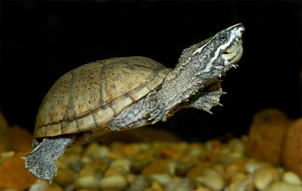 Мускусная черепаха.