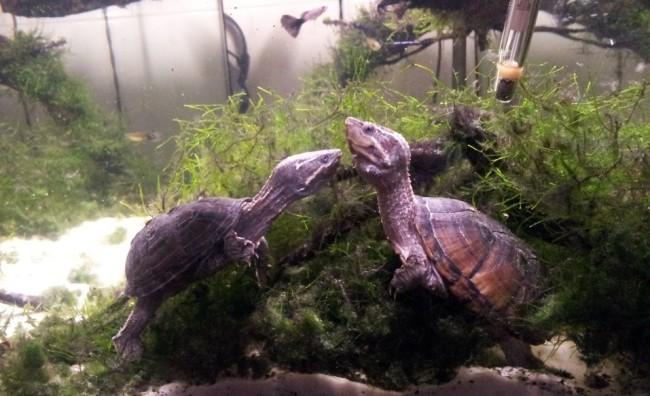 Две мускусные черепахи.