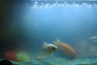 Быстро мутнеет вода у рыбок.