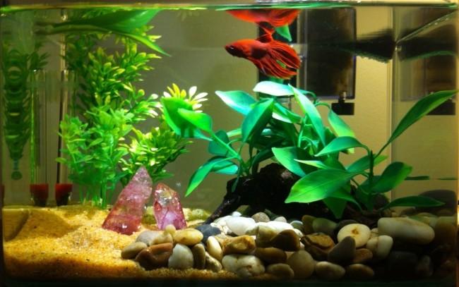 Просторный аквариум для петушков.