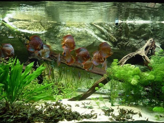 Правила совместимости дискусов с рыбками.