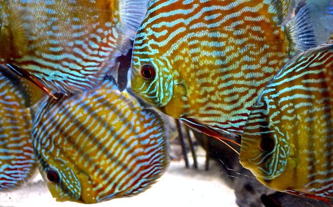 Дискус в домашних аквариумах.