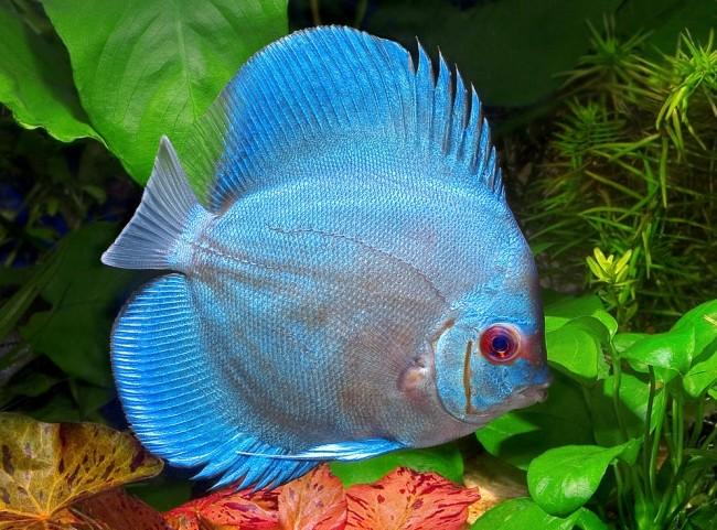 Дискус голубой в аквариумах.