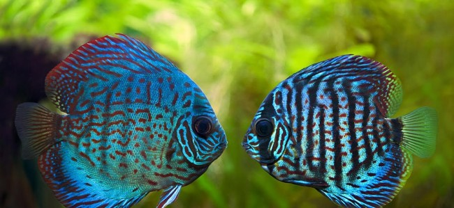 Kissing discus.