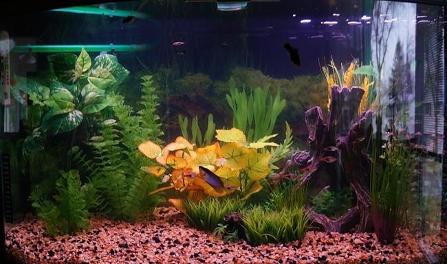 Домашний аквариум для гурами.