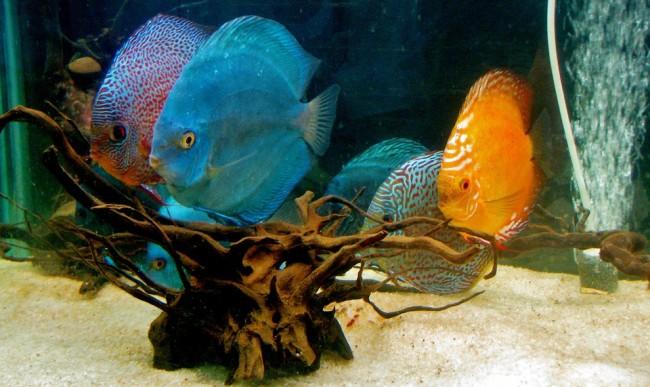 Кормление аквариумных дискусов.