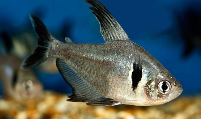 Виды аквариумных рыбок орнатусов.