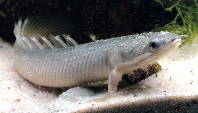 Рыбки полиптерус.