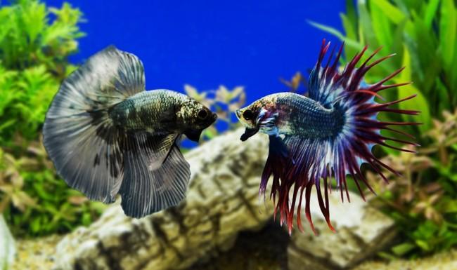 Рыбка петушок бойцовский вид.