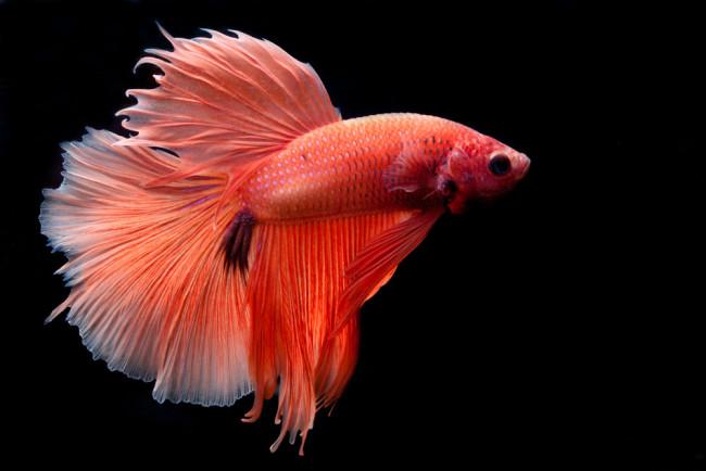 Рыбка петушок обыкновенный.