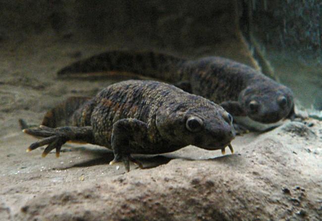 Iberian ribbed newt.