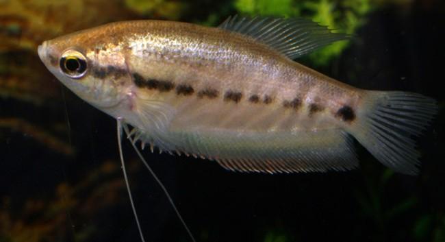 Trichogaster pectoralis.