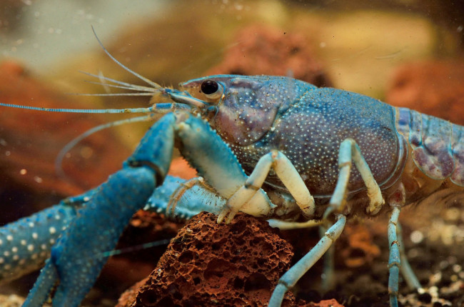 Procambarus Alleni.