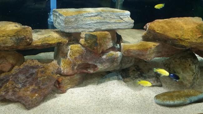 Бурые водоросли на камнях в аквариуме.