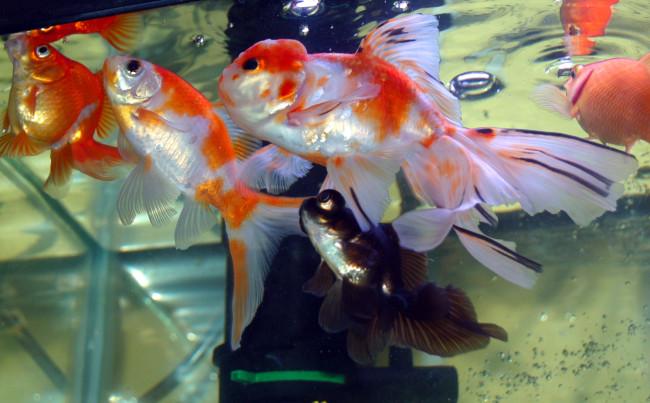 Золотые рыбки кормление.