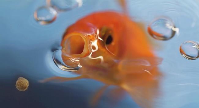 Золотая рыбка и корм.