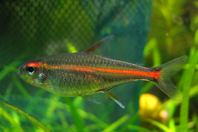 Рыбка светлячок.