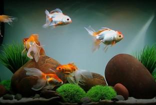 Содержание золотой рыбки.